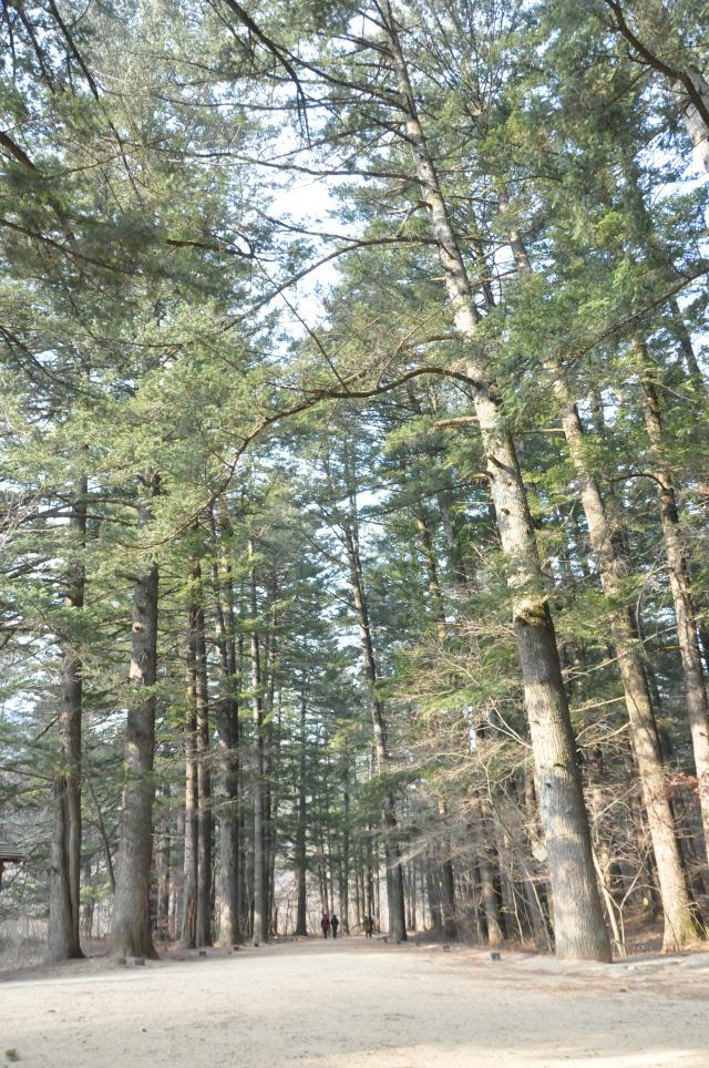 오대산 선재길 초입의 월정사 전나무 숲길.
