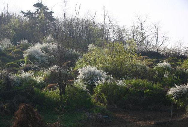 봄에 핀 풍성하고 아름다운 눈꽃송이