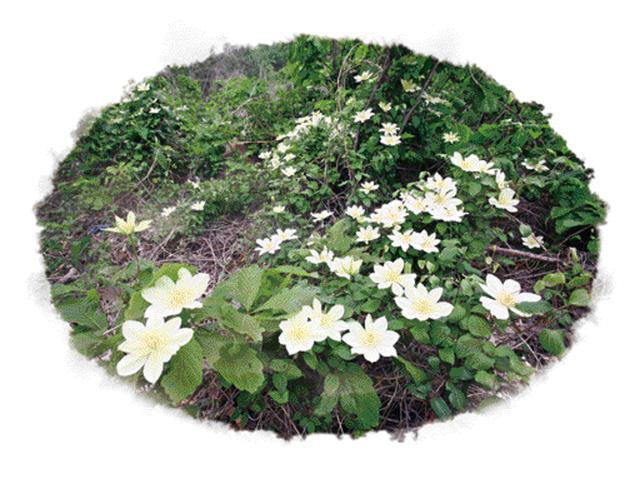 봄의 끝을 잡고…덩굴서 피어난 상앗빛 꽃송이