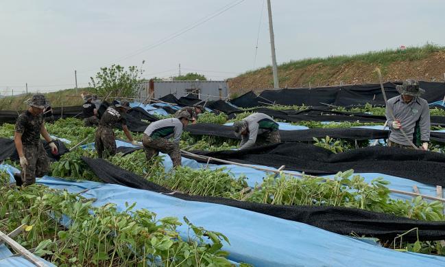 육군17사단 백승연대 장병들이 경기도 김포 양촌읍 일대 인삼밭에서 지주목 및 차광막 복구 작업을 펼치고 있다.  부대 제공